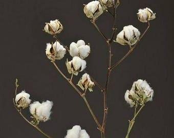 Dried Cotton Stalks | Cotton Stalks | Dried Decor | Natural Decorations