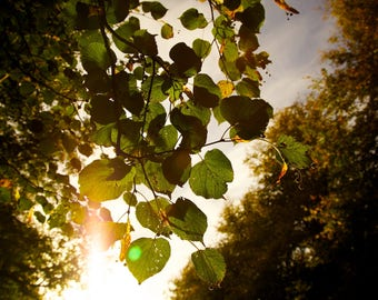 Beginning of the end, leaves, sun, sky, sunlight, photography, wall art, poster