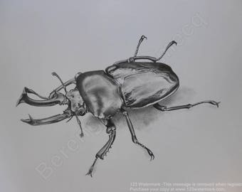 Handpainted pencil drawing Phalacrognatus Mueller Natural Coleopterology study Art Work of a Rare Beetle Ideal Gift for Beetle Insect Lover