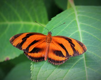 """Western Canada Photography - Nature Photography - Butterfly Wall Art - Insect Art Prints --- """"Mesmerizing Stripes"""""""
