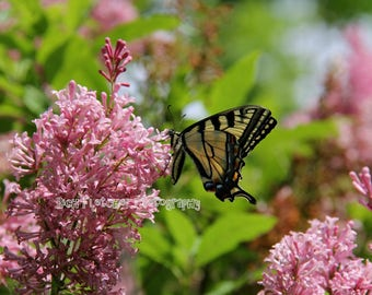 Nature Photography: Canadian Tiger Swallowtail Butterfly printed on photo paper, canvas, mug, notebook, iPhone/iPad case etc.