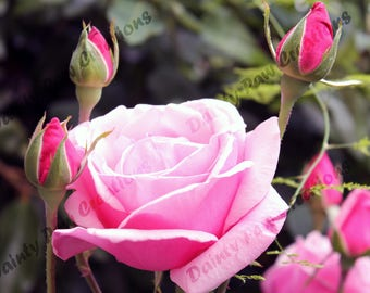 Budding Rose Photograph