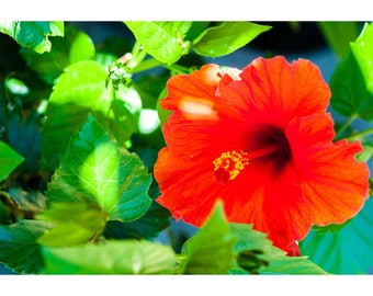 A red Hibiscus flower in the garden