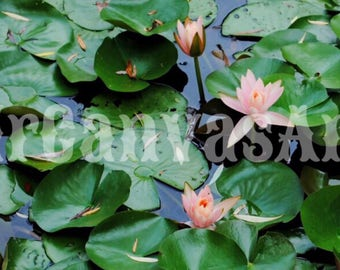 Water Lilies Canvas