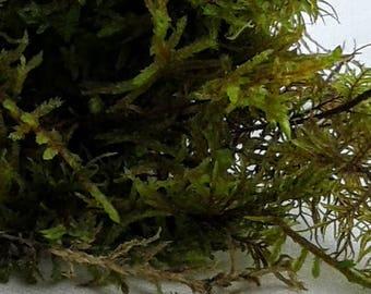 Live Moss - Terrarium Moss - Live Ptilium Moss - Miniature Garden - Fern Moss - Craft Moss - Live Natural Moss - Vivarium Moss - Decor Moss