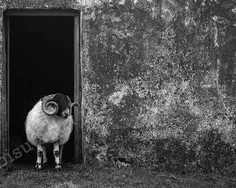 Scotland Ram Print