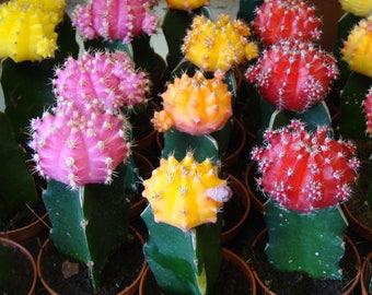 3 x Gymnocalycium mihanovichii Mix - Pink, Yellow, Red