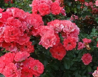 Coral Drift® Rose Bush 3 Gallon