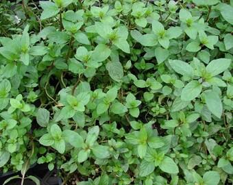 Organic Peppermint Essential Oil (Mentha x Piperita) 100% Pure