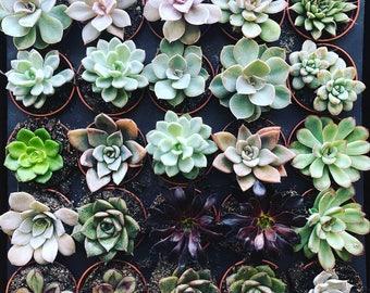 "20 assorted colors 2"" succulents"