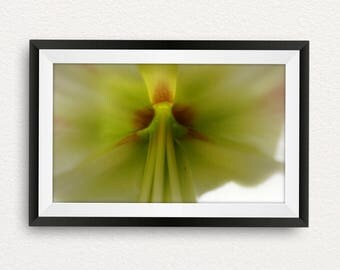 Amaryllis - Yellow