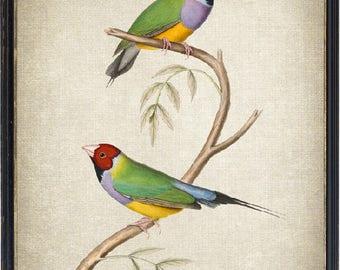 Bird Printable, Gouldian Finch Vintage Illustration, Instant Wall Art Print, Digital Download