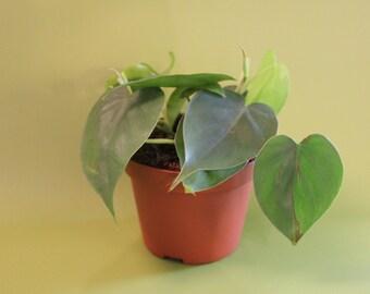 Green pothos - devils ivy