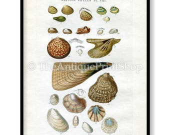 Shell Print Antique Reproduction. Plate VIII from British Shells by Sowerby pub. 1859. Wall Decor for, Hamptons, Shabby Chic, Beach House
