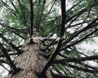 Bottom View of Tree in the Forest of Portland, Oregon (Digital Download)