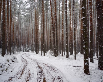 First snow in the pine forest