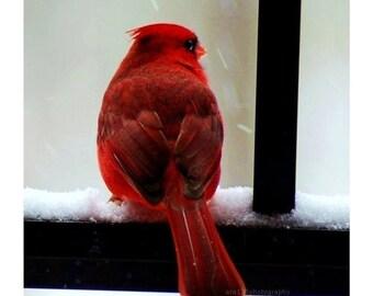 50% OFF SALE Christmas Cardinal Holiday Decor Photography Red Black Winter Decoration Cardinal 5x5 Inch Fine Art Photography Print Cardinal