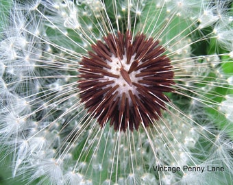 Nature Photography Dandelion, Instant Download