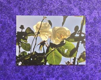 White Rose postcard print
