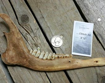 Craft Grade Lower Jaw - Unmatched sides with Teeth- Deer Lot No. 170610-EE