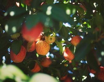 Apple Orchard - Fine Art Photograph, Flowers, Nature, Garden Photography