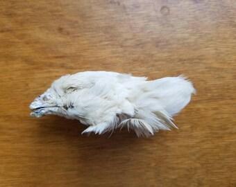 Dried Quail Head - Lot of 1