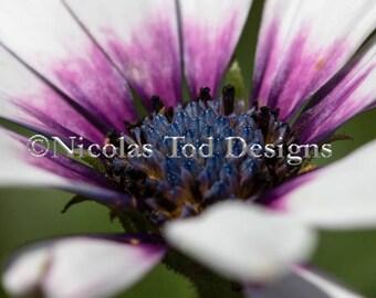 purple eye osteospermum flower- nature photo