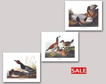 Set of 3 Diving Duck Art Prints, Red Headed Duck Art, Ruddy Duck Art, Canvas Back Duck Art (John James Audubon Bird Prints) SALE