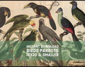 INSTANT DOWNLOAD Parrots Birds 16x20 and Smaller Late 1800s Repro HANSELMANN