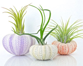 Air Plant Terrarium Kit - 3 Tillandsia Air Plants + 3 Sea Urchin Shell + Gift Box * Genuine Sea Shell Planters. Air plant holder Planter Set