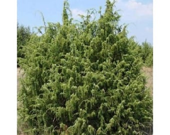 10 Common Juniper Tree Seeds, Juniperus communis