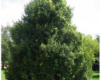 10 English Holly Tree Seeds, Ilex aquifolium