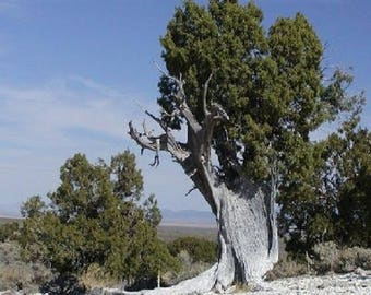 10 Utah Juniper Tree Seeds, Juniperus osteosperma
