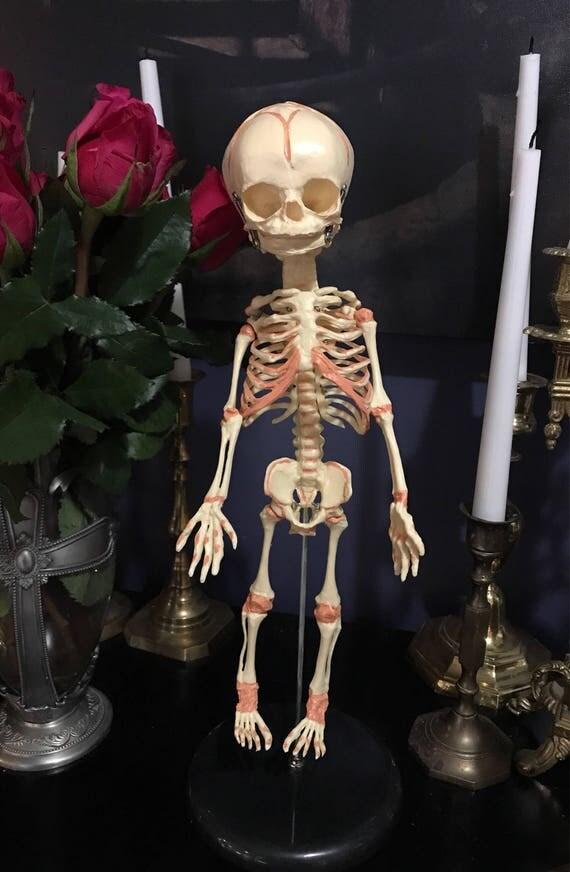 Fetal Skeleton Replica