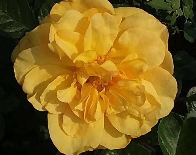 Tupelo Honey ™ Sunbelt ® Shrub Rose Reblooming Fragrant Yellow Flowers - Own Root Potted - Non-GMO - Heat Loving Rose!