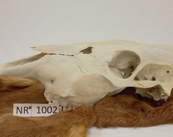 Cow Skull - Naturally Cleaned - Real bone - NR1002