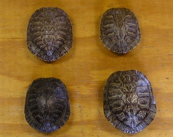 "4 - 4"" Red Ear Slider Turtle Shells"