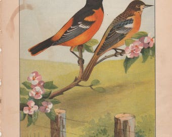 Oriole/Meadow-Lark Antique Bird Print 1926 R. E. Todhunter