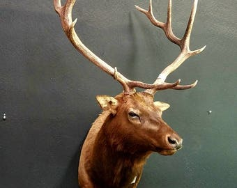 Animal Taxidermy Bull Elk Mount Antlers, NEW, Vintage Decor, Home Decor, Log Cabin Decor. Rustic Deer Elk Antler FREE SHIPPING