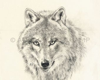 Study of wild animals - Wolf