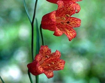 Fritillaria recurva, the scarlet fritillary 10 seeds
