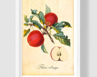 Red Apple Botanical Print, Fruits Home Decor, A4 Apple Art Print, French Hand-colored Copper Engraving, Apple Illustration, Red Apple Poster