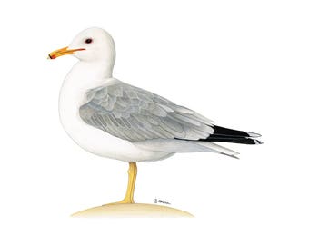 Seagull art etsy bird watercolor print of california gull utah state bird watercolor bird art bird sciox Image collections