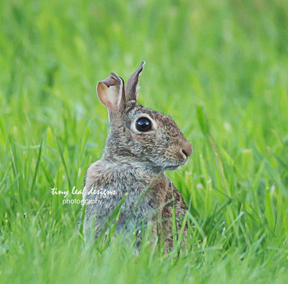 Country Bunny Original Photograph 5x7 8x10 print, 8x10 standout