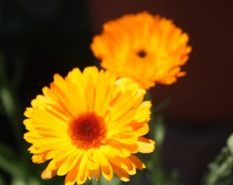 Calendula Seeds, Flowering Herbs, Calendula officinalis, Pot Marigold, Ruddles, Scotch Marigold, English Garden Marigold, Flowers for Dye
