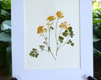 FREE SHIP  Real Pressed Flower Art Botanical Herbarium of  Yellow Corydalis 11x14