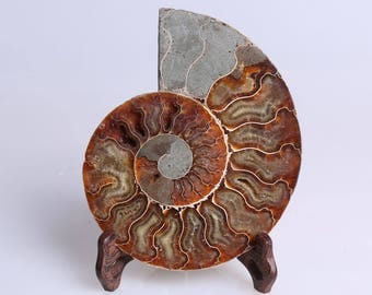 Split Ammonite Fossil Specimen Shell Healing Madagascar,Natural Home Decor+ Free Wenge Stand J507R