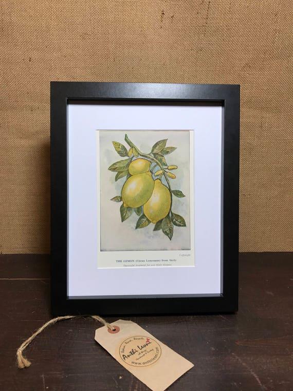 Lemon Botanical Book Plate Print - Mounted Vintage Lemon Plant Illustration - The lemon Citrus Lemonum From Sicily