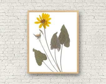 Yellow Wildflower Herbarium Botanical Print - Arrow Leaved Balsamroot Flower - Dried Flower Art - Floral Artwork - Pressed Flower Art - Boho