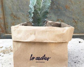 """small """"malibu blue"""" cactus in a peat pot"""